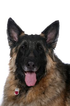 Big Mixed Breed Dog With Tongue Hanging Out Royalty Free Stock Photography