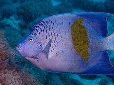 Free Yellowbar Angelfish Stock Images - 7848014
