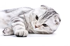 Free Scottish Kitten Lies On A White Background Stock Image - 7848861