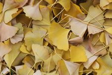 Free Ginkgo Leaves Stock Image - 7849171