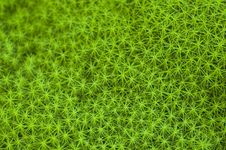Free Star Moss Stock Images - 7849574