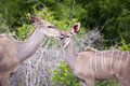 Free Kudu Mother With Her Cub Stock Photo - 7852130
