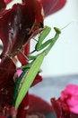 Free Praying Mantis (Mantis Religiosa) Stock Image - 7852371
