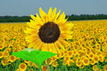 Free Sunflower Field Royalty Free Stock Image - 7855466