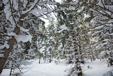 Free Winter Forest Royalty Free Stock Photography - 7850887