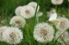 Free Dandelion Meadow 2 Royalty Free Stock Photos - 7850908