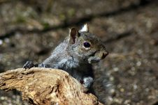 Free Gray Squirrel Stock Image - 7850991
