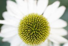 White Cone Flower Stock Images