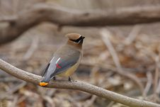 Free Cedar Waxwing On Branch Stock Images - 7851794