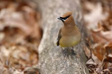 Free Cedar Waxwing On Log Royalty Free Stock Photography - 7851817