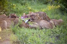 Lion Family Eating Their Prey Royalty Free Stock Photo