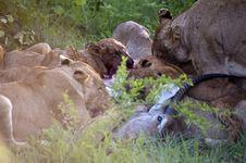 Lion Family Eating Their Prey Royalty Free Stock Photos