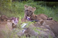 Lion Family Eating Their Prey Stock Images