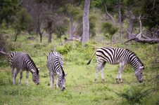 Free Burchell S Zebra Royalty Free Stock Photo - 7852105