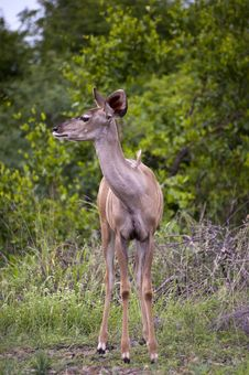 Free A Female Kudu Stock Image - 7852121