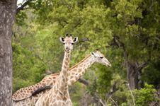 Free Giraffe Stock Images - 7852134