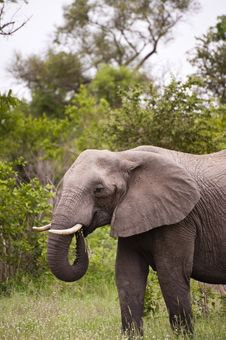 Free Elephant In Kruger Park Royalty Free Stock Images - 7852159