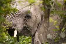 Free Elephant In Kruger Park Stock Image - 7852161