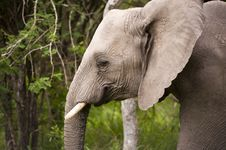 Free Elephant In Kruger Park Stock Photo - 7852170