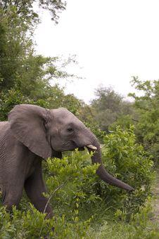 Free Elephant In Kruger Park Stock Images - 7852184