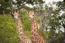 Free Giraffe Stock Photos - 7852203