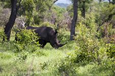 Free Rhino In Kruger Park Stock Images - 7852234