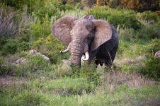 Free Male Elephant Royalty Free Stock Photo - 7852265
