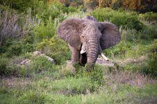 Free Male Elephant Royalty Free Stock Photo - 7852275