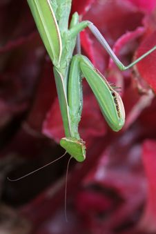 Free Praying Mantis (Mantis Religiosa) Royalty Free Stock Photography - 7852357