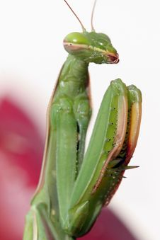 Praying Mantis (Mantis Religiosa) Stock Photos