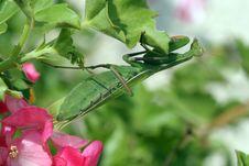Free Mantis Religiosa Stock Photo - 7852530