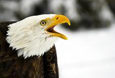 Screaming Bald Eagle (Haliaeetus Leucocephalus) Royalty Free Stock Image