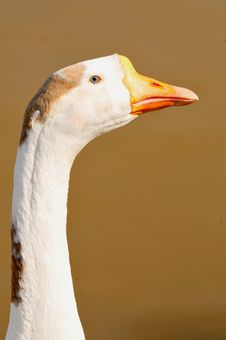 Free Duck Face Royalty Free Stock Photos - 7853378