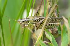 Free Grasshopper Stock Photo - 7853500