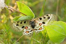 Free Nomion Butterfly Royalty Free Stock Images - 7853549