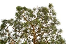 Free Pine Tree Branch Royalty Free Stock Images - 7853559