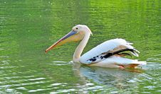 Free Pelican Stock Images - 7853684