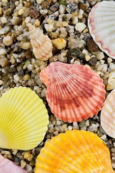 Free Cockleshells Royalty Free Stock Image - 7853686