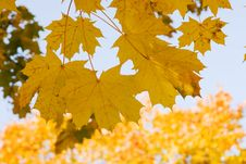 Free Gold Autumn Royalty Free Stock Images - 7853689