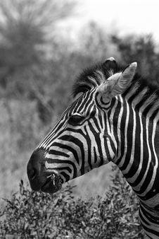 Free Zebra Portrait Stock Image - 7853871