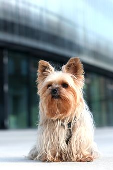 Free Yorkshire Terrier Royalty Free Stock Photography - 7854657
