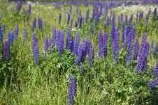 Free Field Of Purple Lupine Flowers Royalty Free Stock Photography - 7855777