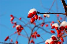 Free Few Berry Of Dog-rose Stock Photos - 7856033