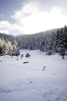 Free Winter Forest.... Stock Image - 7856121