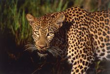Free Leopard Stock Photography - 7856552