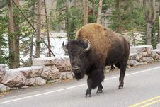 Free Bison-buffalo Royalty Free Stock Photos - 7856688