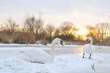 Free Two Swan Stock Photo - 7857350