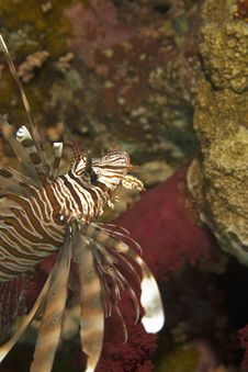 Free Lionfish Stock Photos - 7857393
