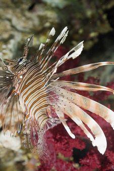 Free Lionfish Stock Photo - 7857400