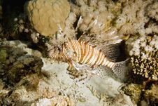 Free Lionfish Stock Images - 7857674